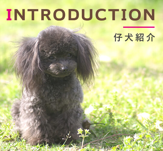 INTRODUCTION 仔犬紹介
